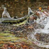 Carkeek Park: chum salmon splashing in stream