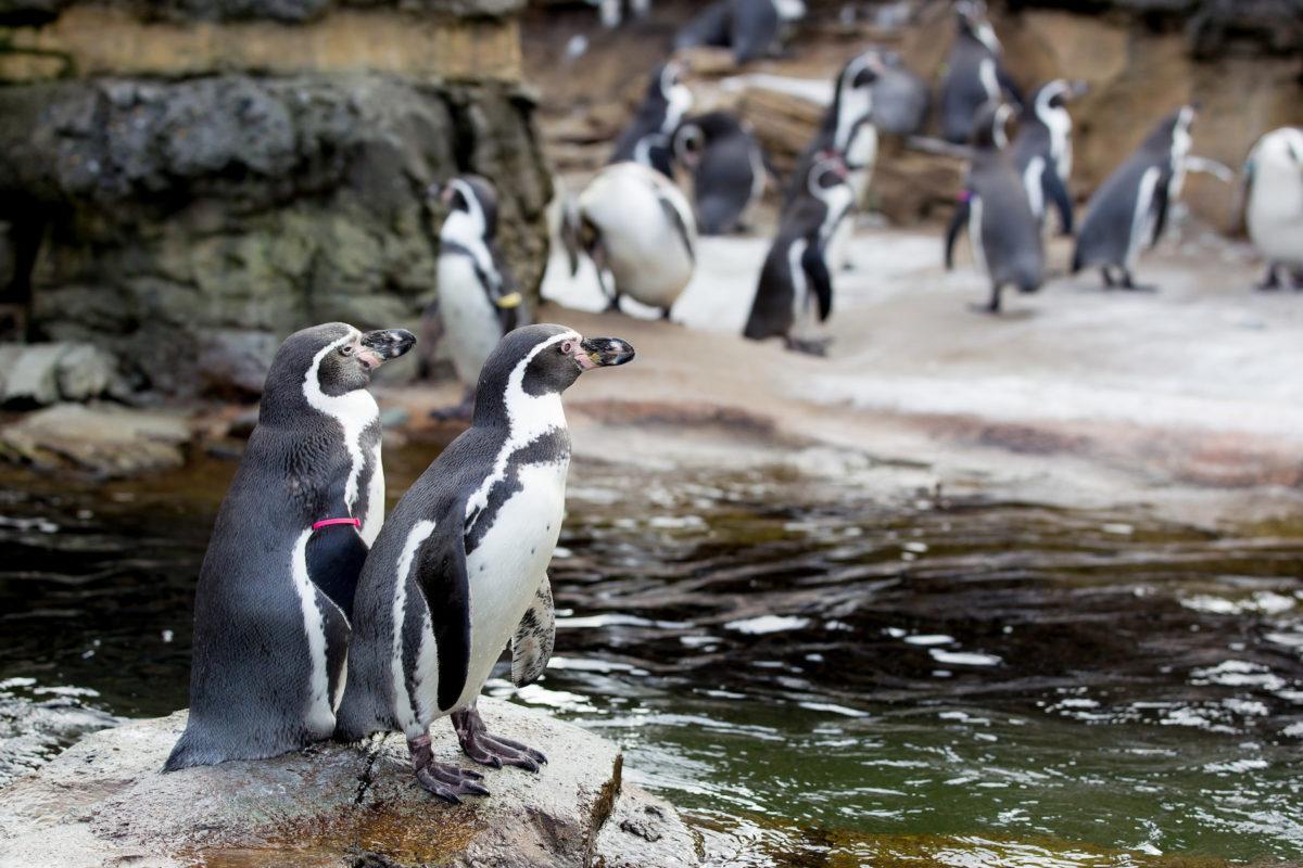 Rainy day Humboldt Penguins at the Woodland Park Zoo