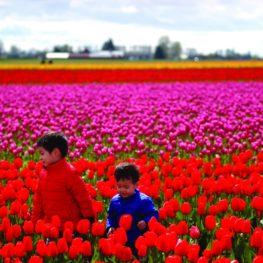 tulip festival photo tips