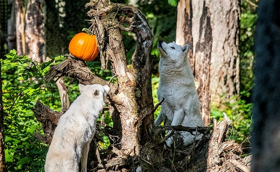 Free Halloween Events Seattle 2020 Pumpkin project at Northwest Trek combines learning and fun — for