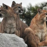 three cougars on a rock