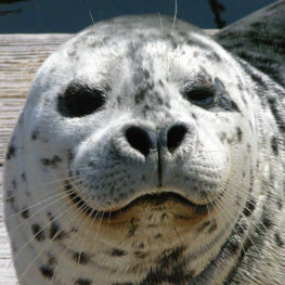 Barney the Harbor Seal, one of the animals people can see when Seattle Aquarium reopens June 29