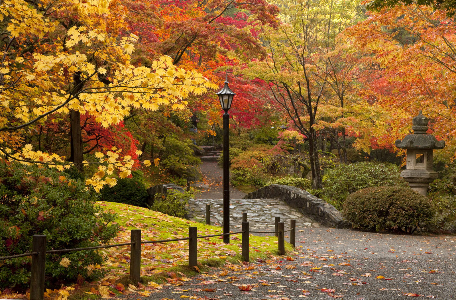 Celebrate autumn: bright colored maple trees at Seattle Japanese Garden