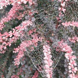Spiders: spider webs outlined by dew in a bush with pink leaves