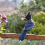 weekend picks: Steller's Jay on a fence holding a peanut in its beak