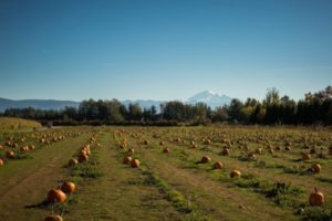 Pumpkin field at Bellewood Farm with Mount Baker in the background.