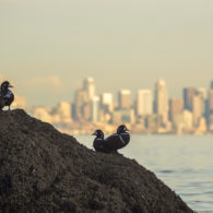 Harlelquin ducks with Seattle Skyline in the background