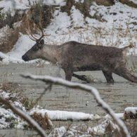 Northwest Trek caribou