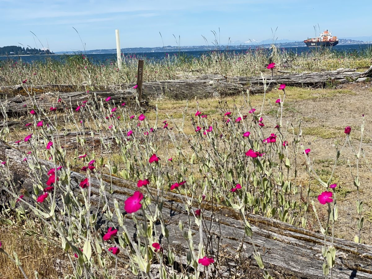 pink widlflowers grow near the shore